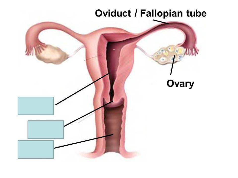 Ovary Oviduct / Fallopian tube Uterus Ovary Cervix Vagina