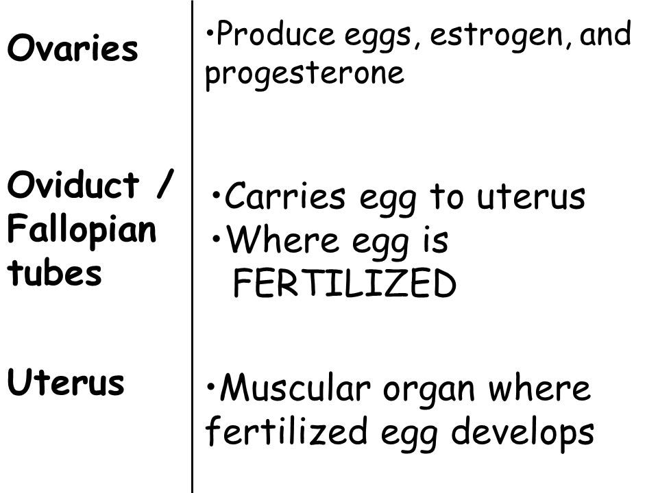 Ovaries Oviduct / Fallopian tubes Uterus Produce eggs, estrogen, and progesterone Carries egg to uterus Where egg is FERTILIZED Muscular organ where f