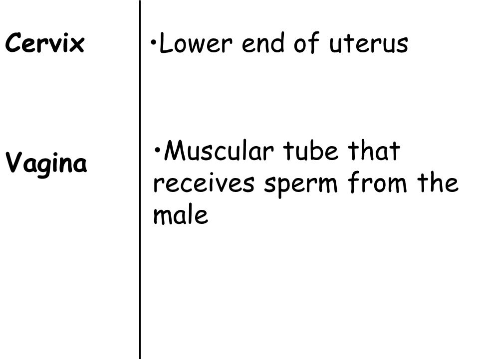 Cervix Vagina Lower end of uterus Muscular tube that receives sperm from the male