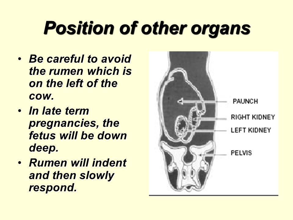 Position of other organs Be careful to avoid the rumen which is on the left of the cow.Be careful to avoid the rumen which is on the left of the cow.