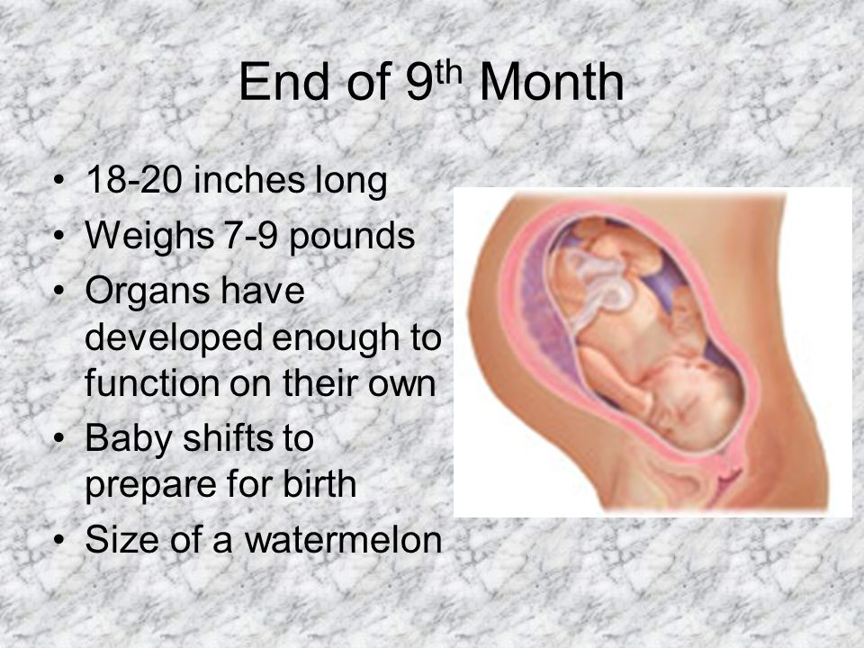 End of 9 th Month 18-20 inches long Weighs 7-9 pounds Organs have developed enough to function on their own Baby shifts to prepare for birth Size of a watermelon