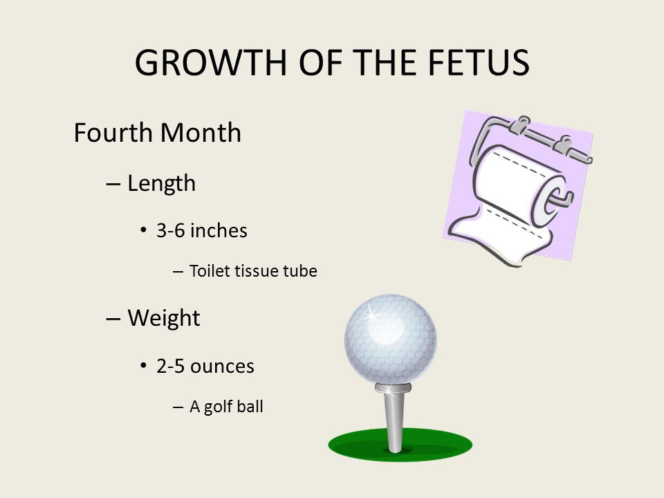 GROWTH OF THE FETUS Fourth Month – Length 3-6 inches – Toilet tissue tube – Weight 2-5 ounces – A golf ball