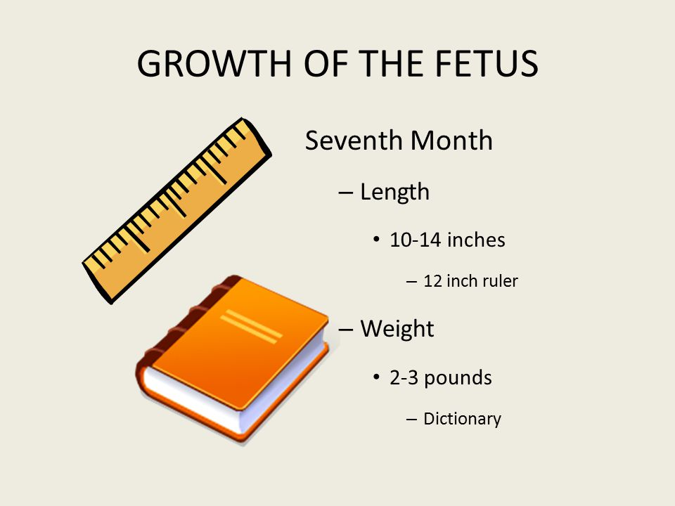 GROWTH OF THE FETUS Seventh Month – Length 10-14 inches – 12 inch ruler – Weight 2-3 pounds – Dictionary