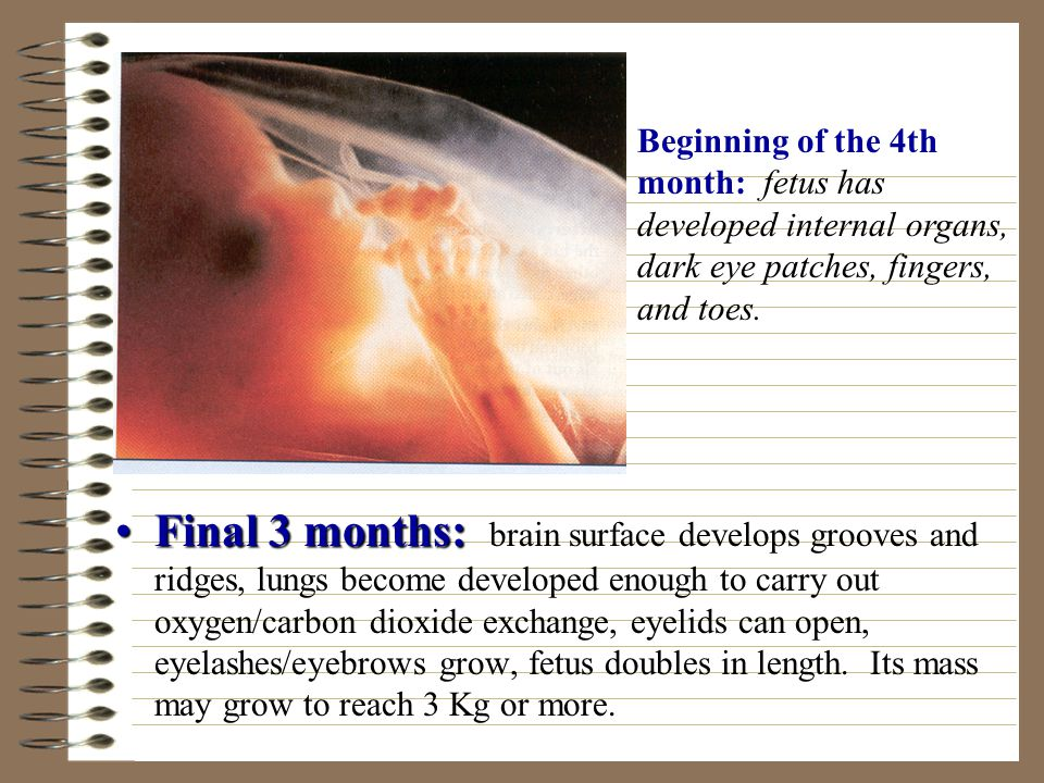 Final 3 months:Final 3 months: brain surface develops grooves and ridges, lungs become developed enough to carry out oxygen/carbon dioxide exchange, eyelids can open, eyelashes/eyebrows grow, fetus doubles in length.