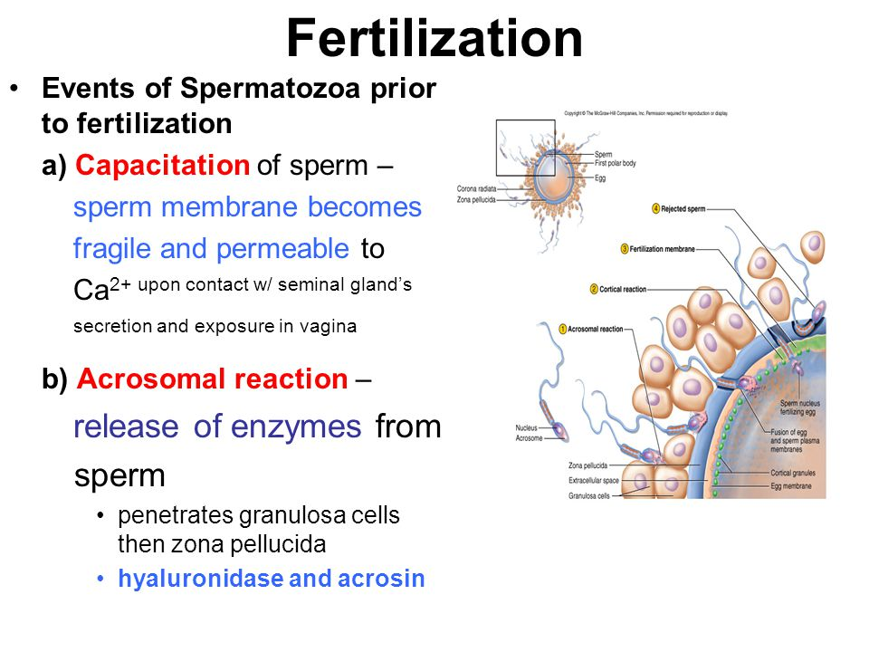 Fertilization Secondary oocyte completes meiosis if fertilized = called a zygote Zygote undergoes cleavage and blastocyst formation Implantation occurs 7 days after fertilization at ______