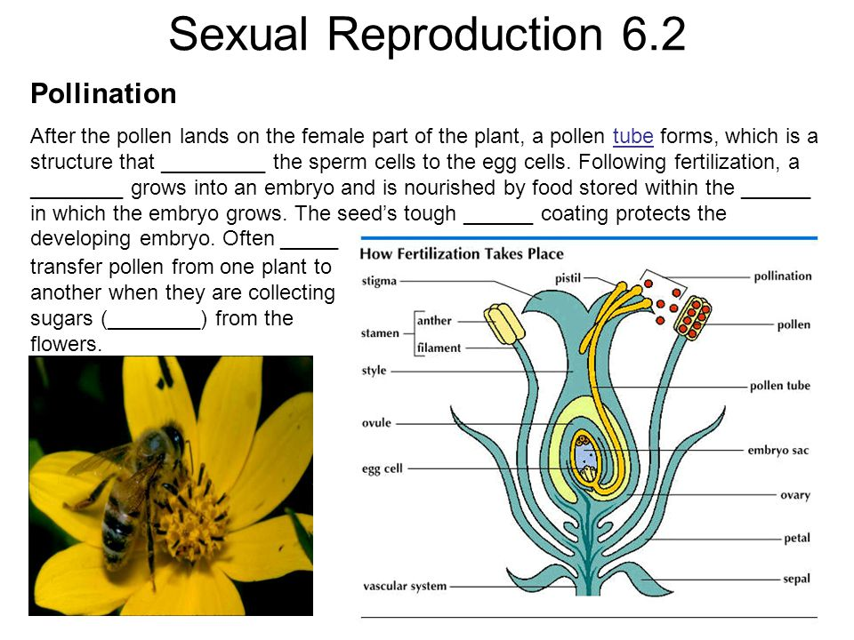 Sexual Reproduction 6.2 Pollination After the pollen lands on the female part of the plant, a pollen tube forms, which is a structure that _________ t
