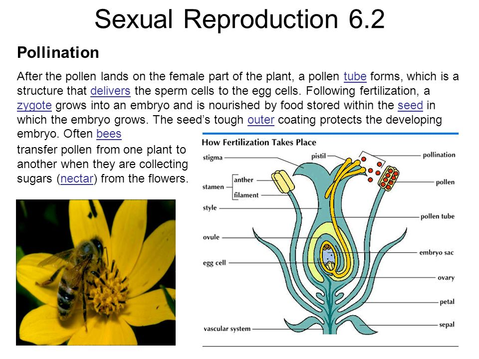 Sexual Reproduction 6.2 Pollination After the pollen lands on the female part of the plant, a pollen tube forms, which is a structure that delivers the sperm cells to the egg cells.