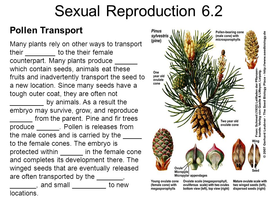 Sexual Reproduction 6.2 Pollen Transport Many plants rely on other ways to transport their ________ to the their female counterpart.