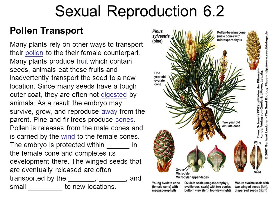 Sexual Reproduction 6.2 Pollen Transport Many plants rely on other ways to transport their pollen to the their female counterpart. Many plants produce