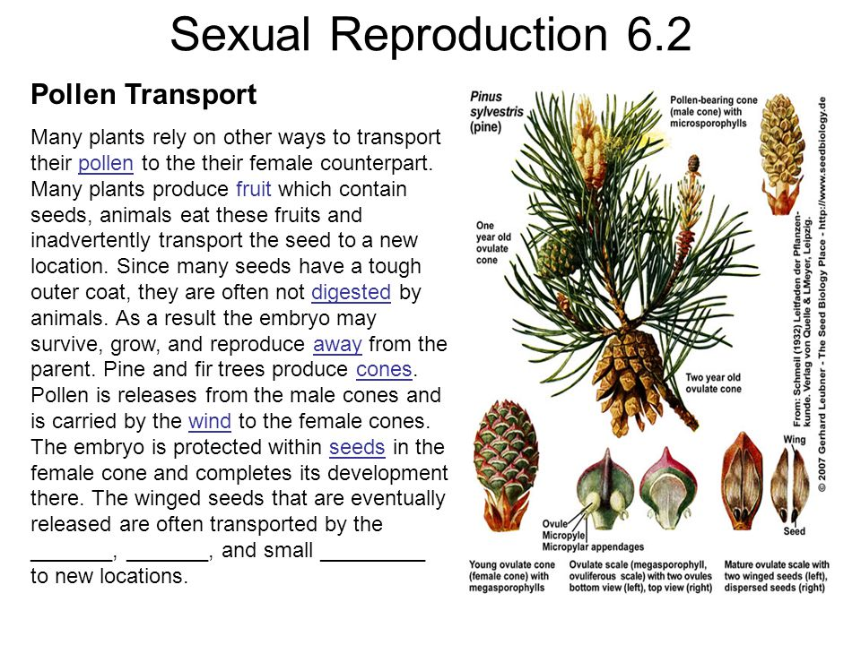 Sexual Reproduction 6.2 Pollen Transport Many plants rely on other ways to transport their pollen to the their female counterpart.