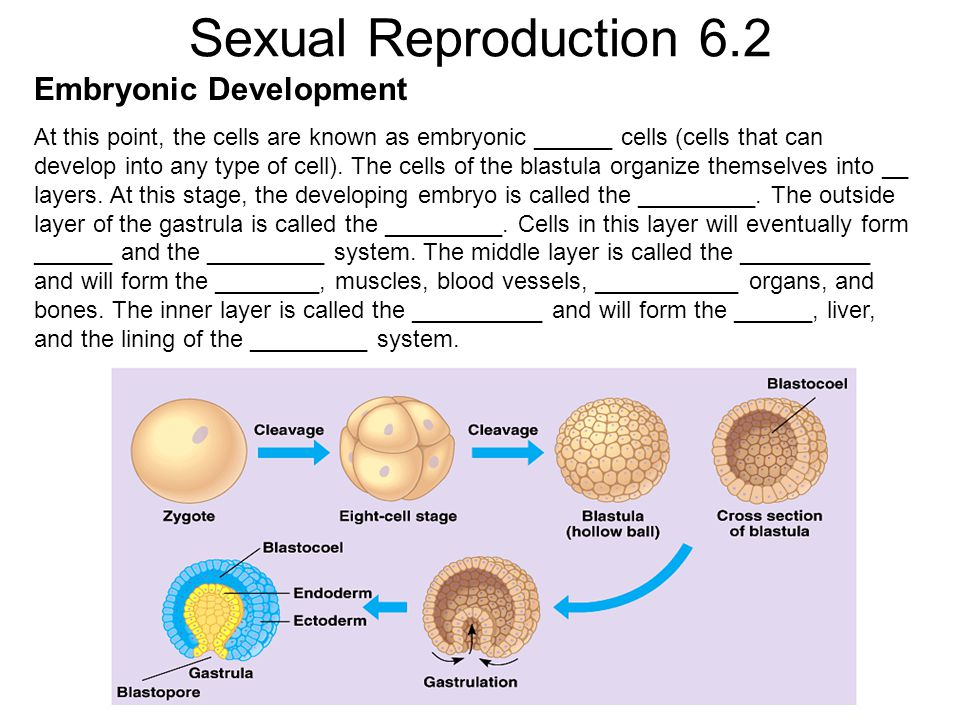 Sexual Reproduction 6.2 Embryonic Development At this point, the cells are known as embryonic ______ cells (cells that can develop into any type of ce