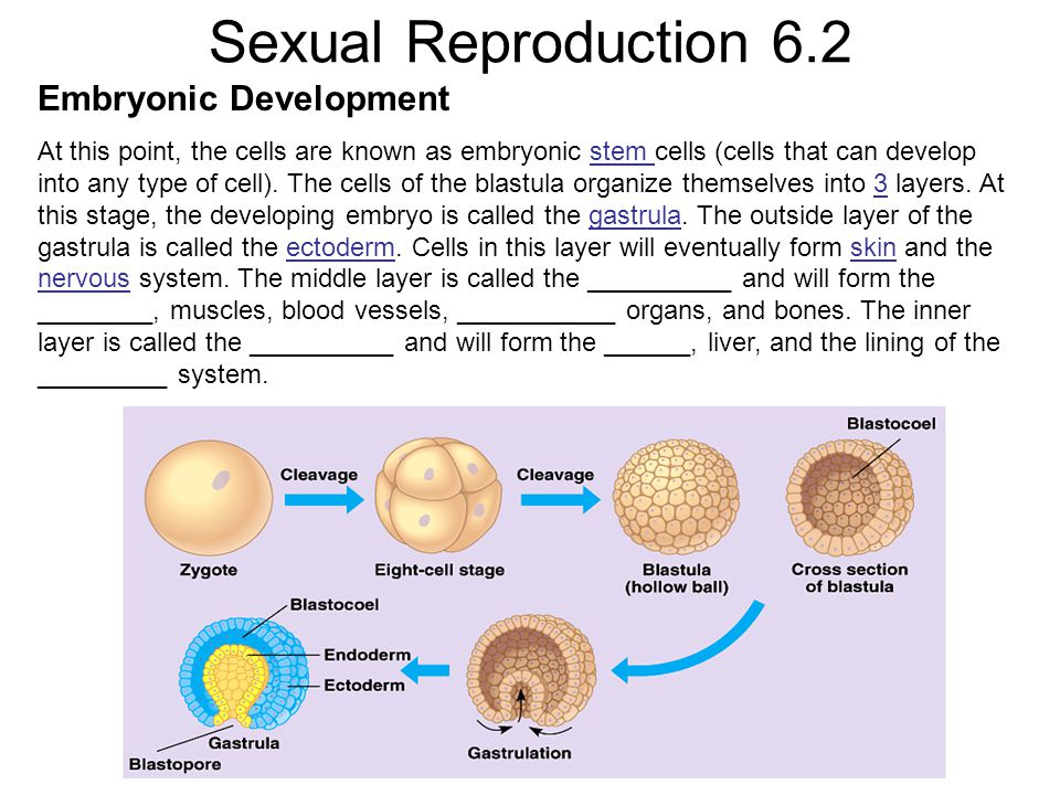 Sexual Reproduction 6.2 Embryonic Development At this point, the cells are known as embryonic stem cells (cells that can develop into any type of cell).