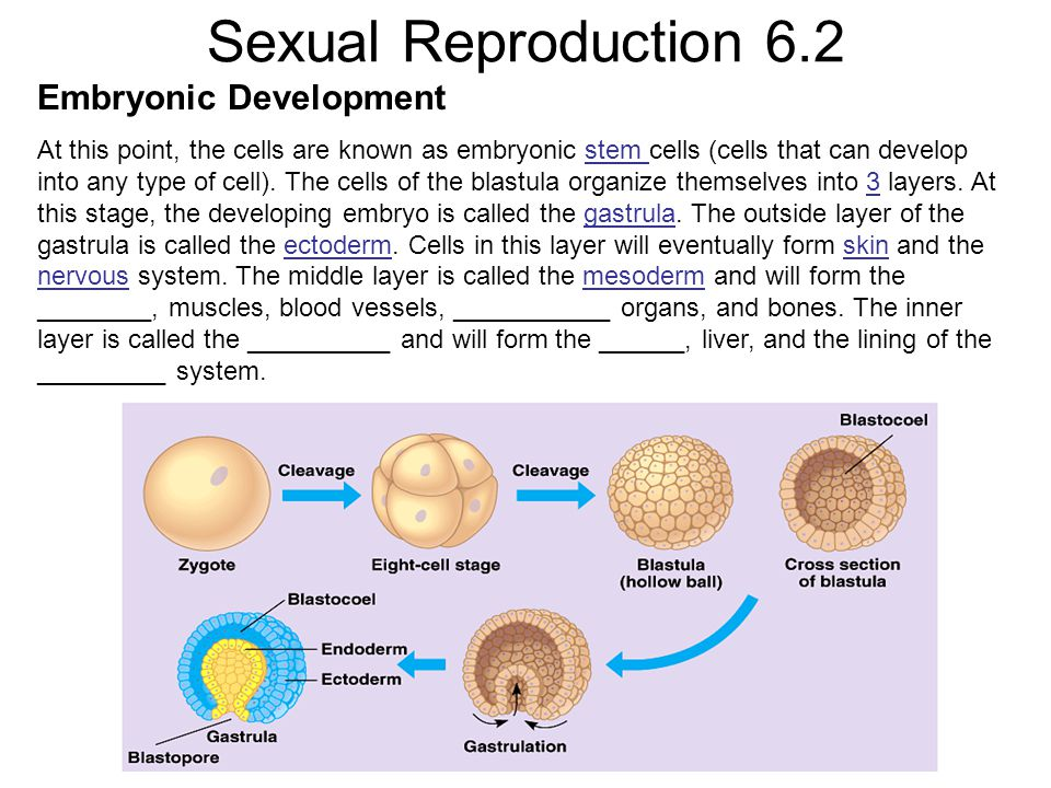 Sexual Reproduction 6.2 Embryonic Development At this point, the cells are known as embryonic stem cells (cells that can develop into any type of cell