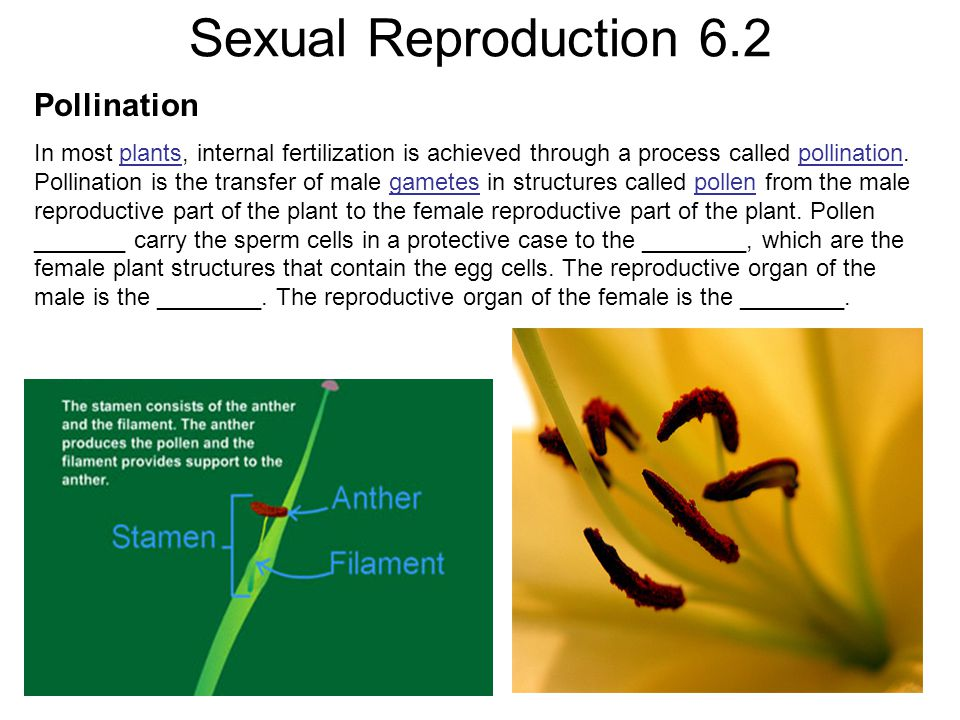 Sexual Reproduction 6.2 Pollination In most plants, internal fertilization is achieved through a process called pollination. Pollination is the transf