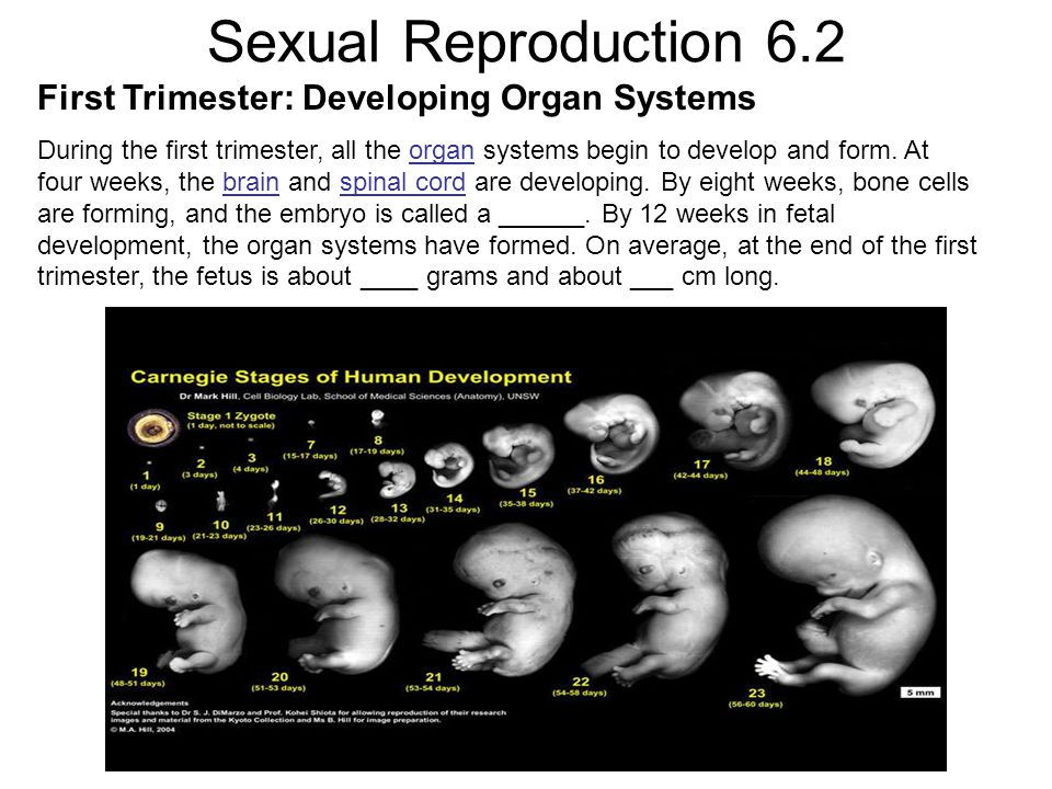 Sexual Reproduction 6.2 First Trimester: Developing Organ Systems During the first trimester, all the organ systems begin to develop and form.