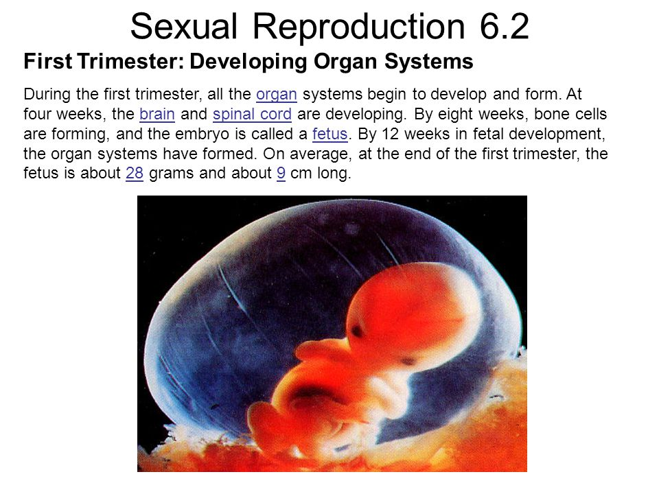 Sexual Reproduction 6.2 First Trimester: Developing Organ Systems During the first trimester, all the organ systems begin to develop and form. At four