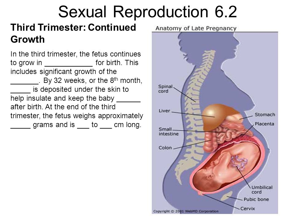Sexual Reproduction 6.2 Third Trimester: Continued Growth In the third trimester, the fetus continues to grow in ____________ for birth.