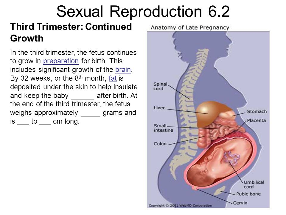 Sexual Reproduction 6.2 Third Trimester: Continued Growth In the third trimester, the fetus continues to grow in preparation for birth. This includes