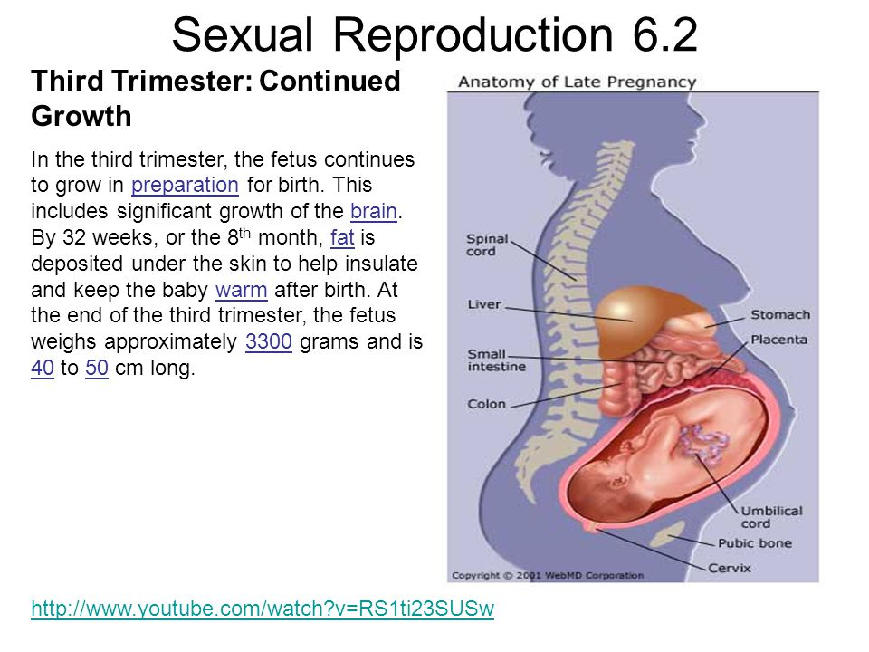 Sexual Reproduction 6.2 Third Trimester: Continued Growth In the third trimester, the fetus continues to grow in preparation for birth.