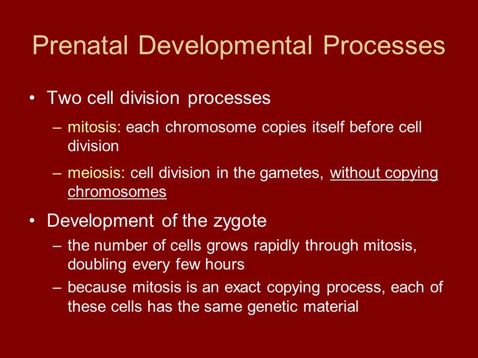 Prenatal Developmental Processes Two cell division processes –mitosis: each chromosome copies itself before cell division –meiosis: cell division in t