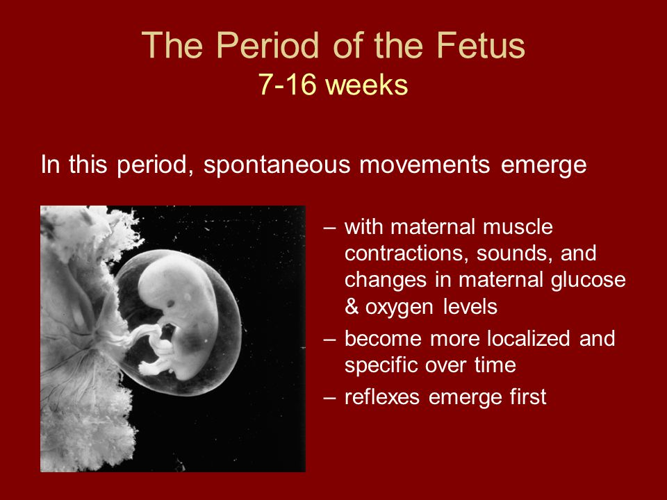 The Period of the Fetus 7-16 weeks In this period, spontaneous movements emerge –with maternal muscle contractions, sounds, and changes in maternal gl