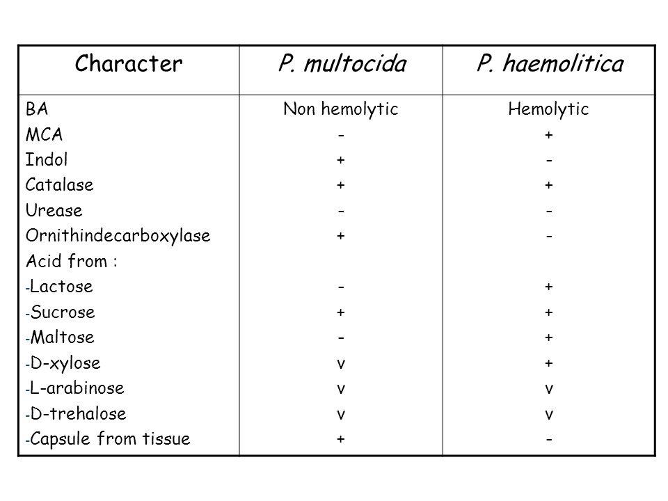 CharacterP. multocidaP. haemolitica BA MCA Indol Catalase Urease Ornithindecarboxylase Acid from : - Lactose - Sucrose - Maltose - D-xylose - L-arabin