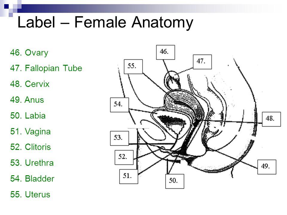 Label – Female Anatomy 46. Ovary 47. Fallopian Tube 48. Cervix 49. Anus 50. Labia 51. Vagina 52. Clitoris 53. Urethra 54. Bladder 55. Uterus