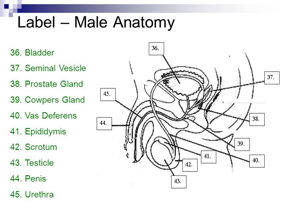 Label – Male Anatomy 36. Bladder 37. Seminal Vesicle 38. Prostate Gland 39. Cowpers Gland 40. Vas Deferens 41. Epididymis 42. Scrotum 43. Testicle 44.