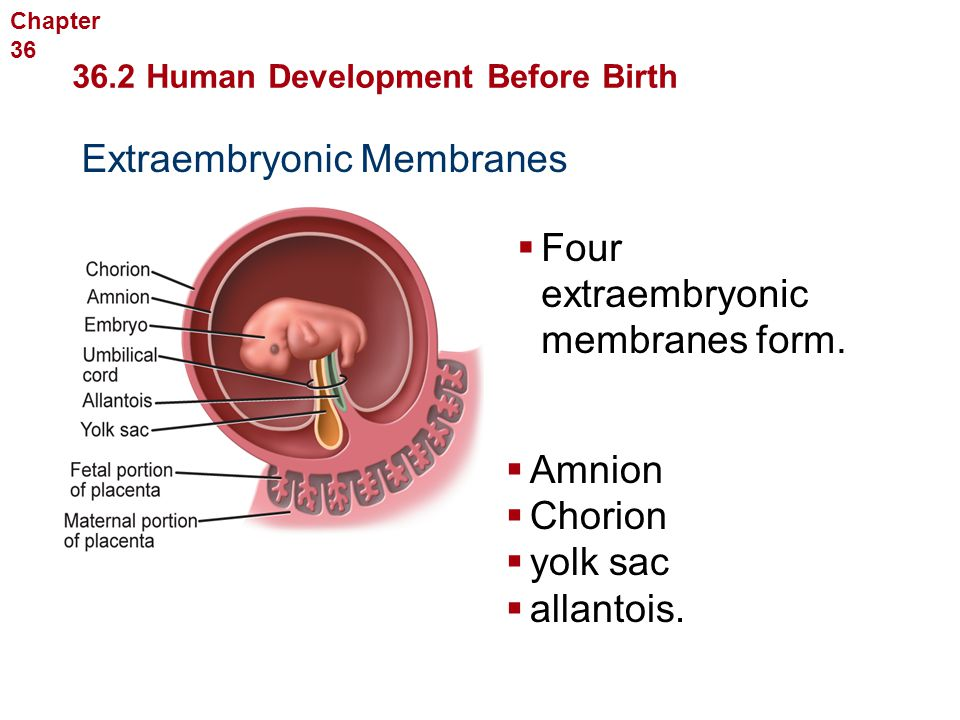 Human Reproduction and Development Extraembryonic Membranes  Four extraembryonic membranes form.  Amnion  Chorion  yolk sac  allantois. 36.2 Huma