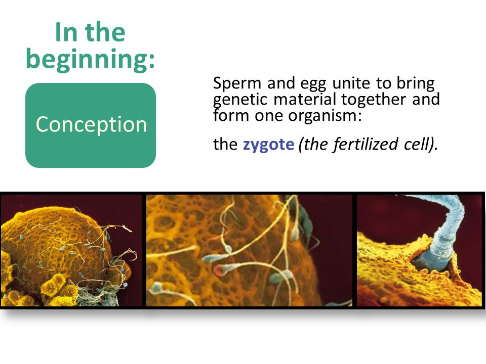 In the beginning: Sperm and egg unite to bring genetic material together and form one organism: the zygote (the fertilized cell).