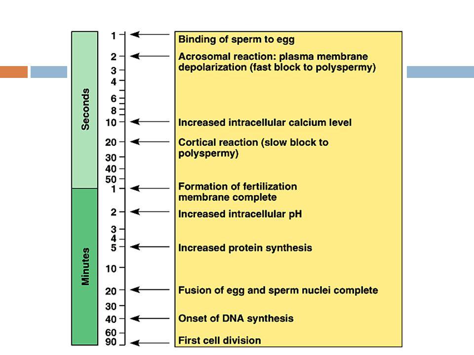 Fertilization  Joining of sperm & egg  sperm head (nucleus) enters egg  Acrosome (enzyme filled vesicle)