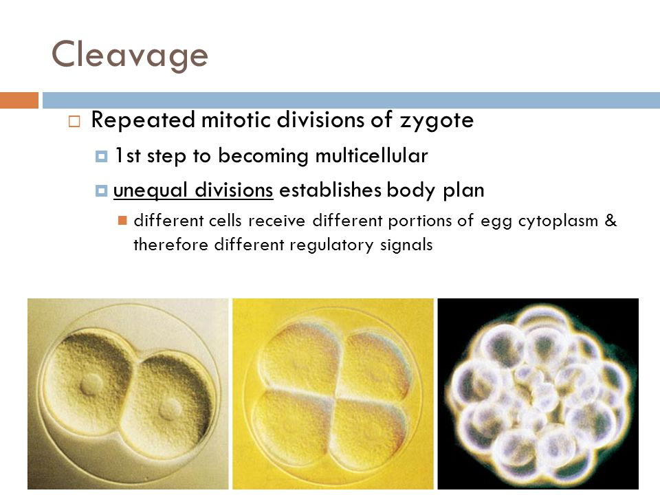 Cleavage  Repeated mitotic divisions of zygote  1st step to becoming multicellular  unequal divisions establishes body plan different cells receive different portions of egg cytoplasm & therefore different regulatory signals