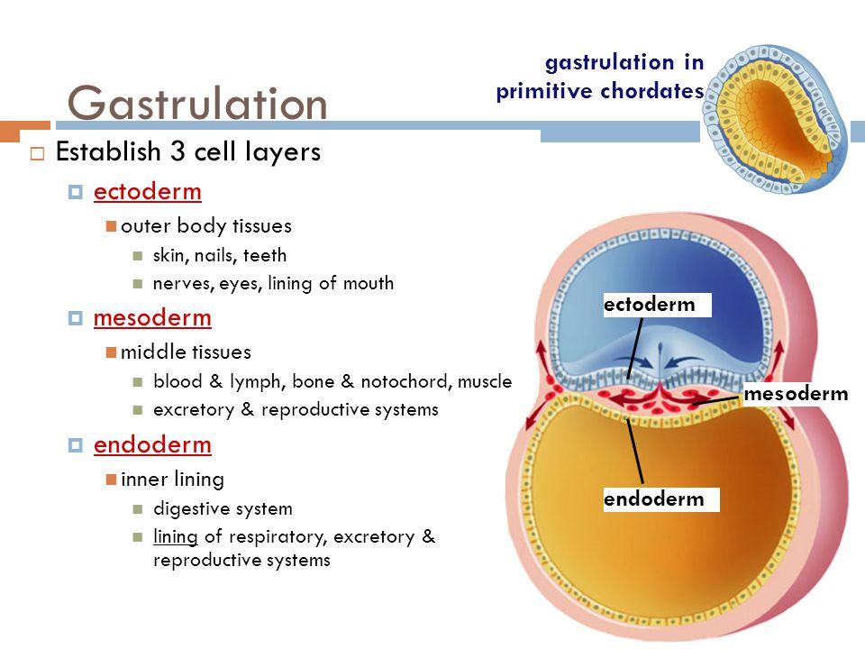 Cleavage  zygote  morula  blastula  establishes future development zygote blastula morula gastrulation