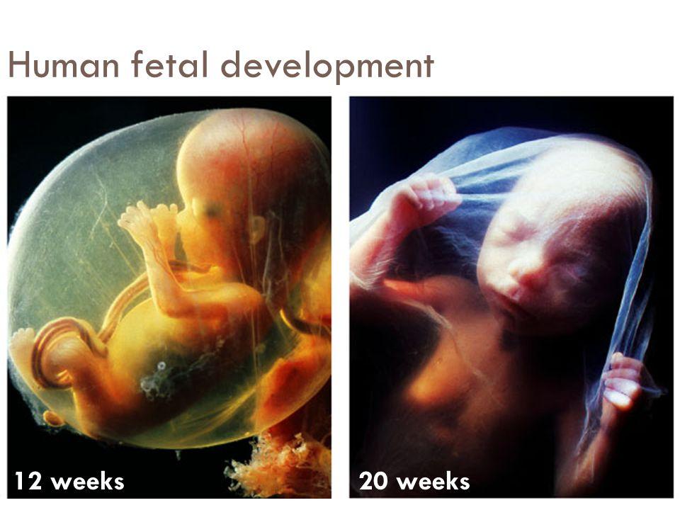 Human fetal development 10 weeks