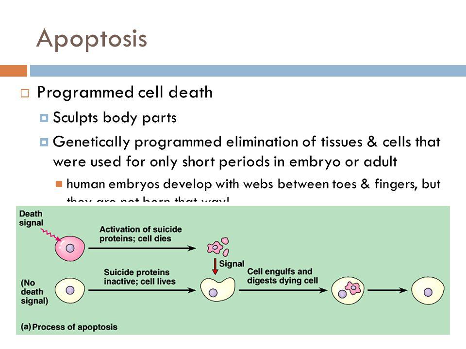 Fetal slide notes
