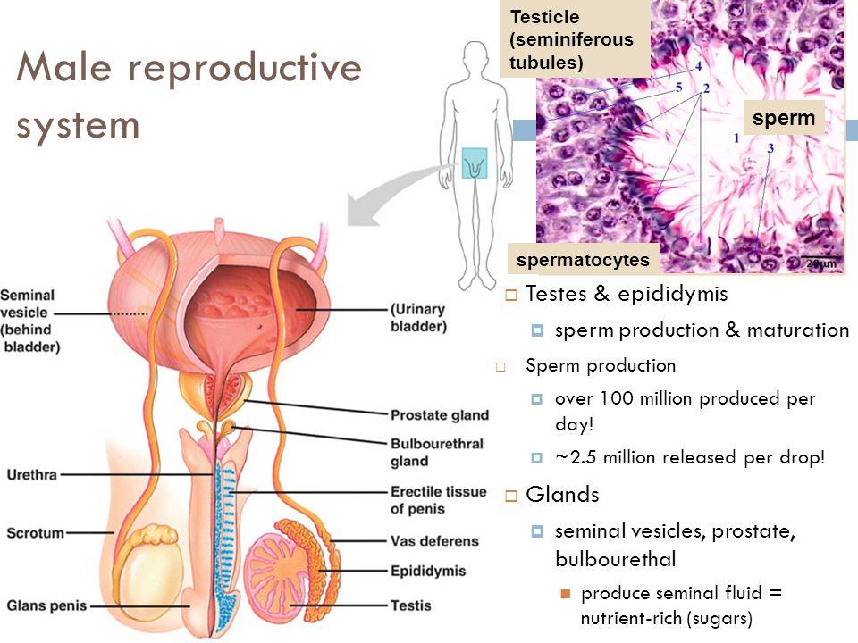 Sex hormone control in males 5/3/2015 Hypothalamus Pituitary Testes Body cells GnRH FSH & LH testosterone