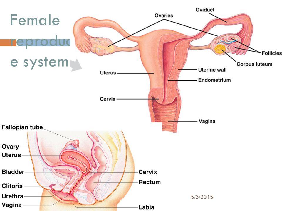 Spermatogenesis 5/3/2015 Epididymis Testis Coiled seminiferous tubules Vas deferens Cross-section of seminiferous tubule Spermatozoa Spermatids (haplo
