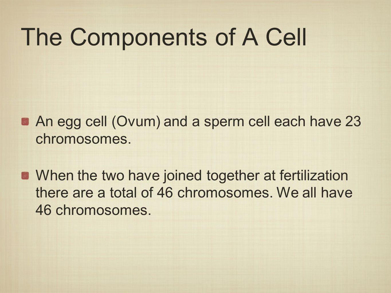 Process of Fertilization 1.Fertilization - When an ovum and sperm cell join.