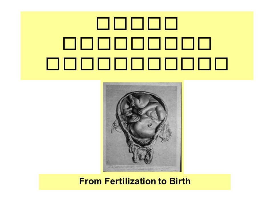Human Embryonic Development From Fertilization to Birth