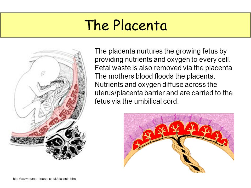 The Placenta The placenta nurtures the growing fetus by providing nutrients and oxygen to every cell.