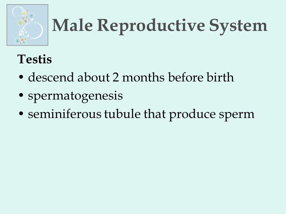 Male Reproductive System Testis descend about 2 months before birth spermatogenesis seminiferous tubule that produce sperm