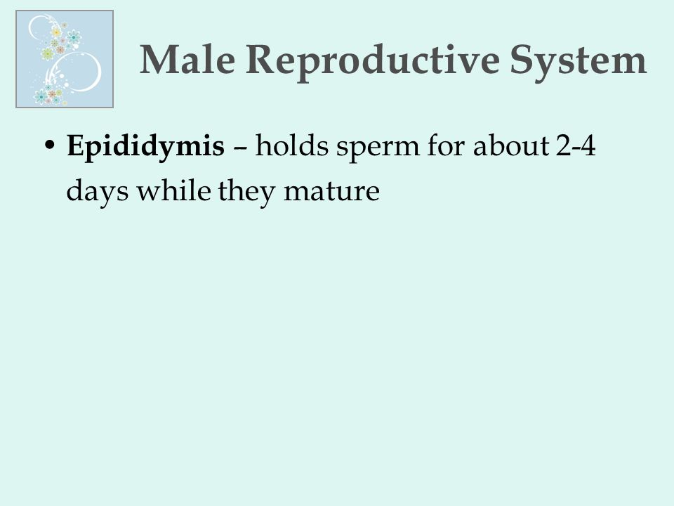 Male Reproductive System Epididymis – holds sperm for about 2-4 days while they mature