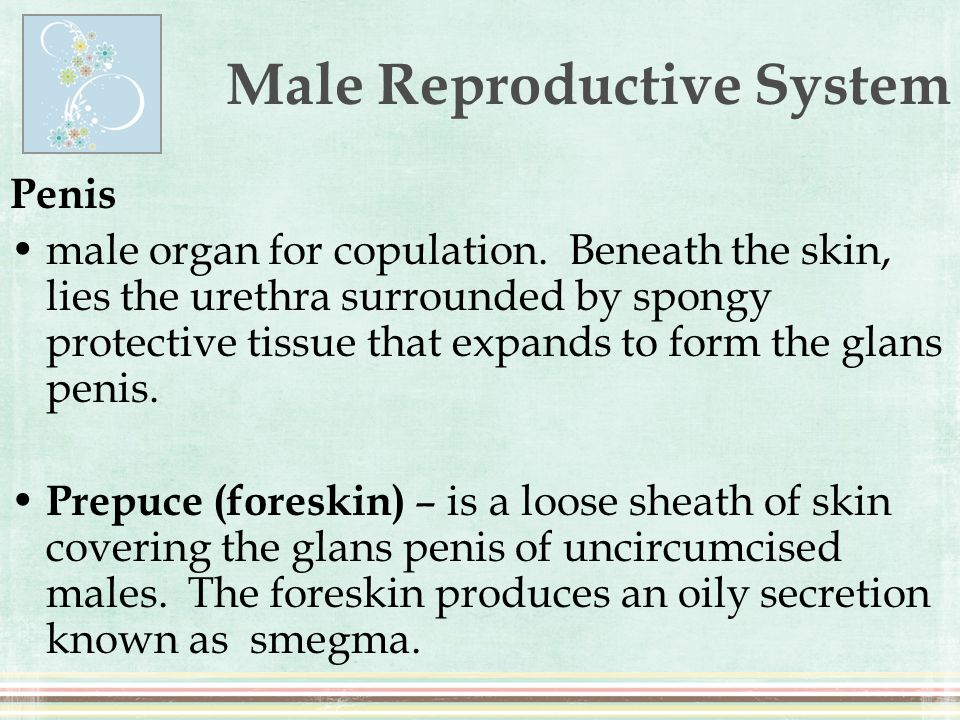 Male Reproductive System Penis male organ for copulation. Beneath the skin, lies the urethra surrounded by spongy protective tissue that expands to fo