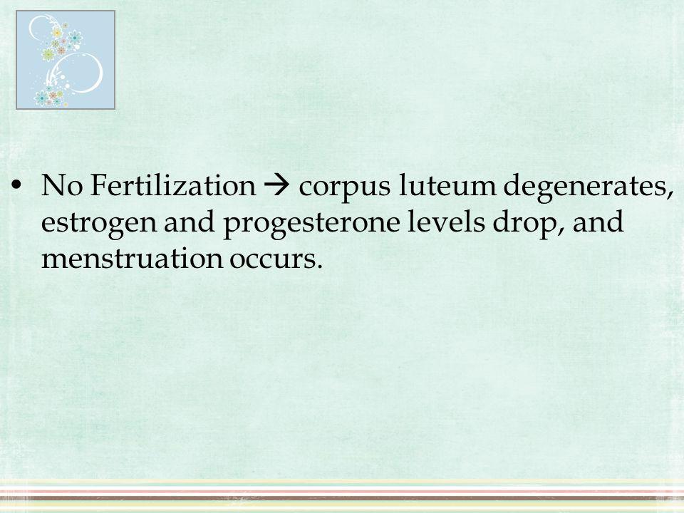 No Fertilization  corpus luteum degenerates, estrogen and progesterone levels drop, and menstruation occurs.