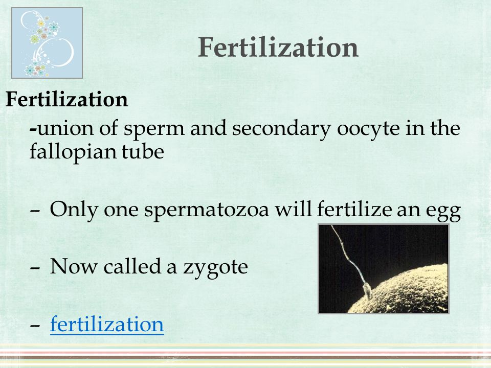 Fertilization - union of sperm and secondary oocyte in the fallopian tube –Only one spermatozoa will fertilize an egg –Now called a zygote –fertilizat