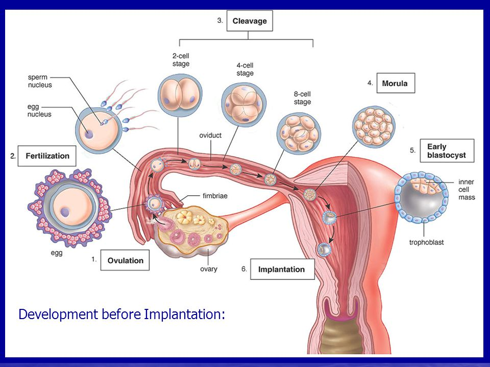Important steps after fertilization: 1.zygote continues down the oviduct 2.