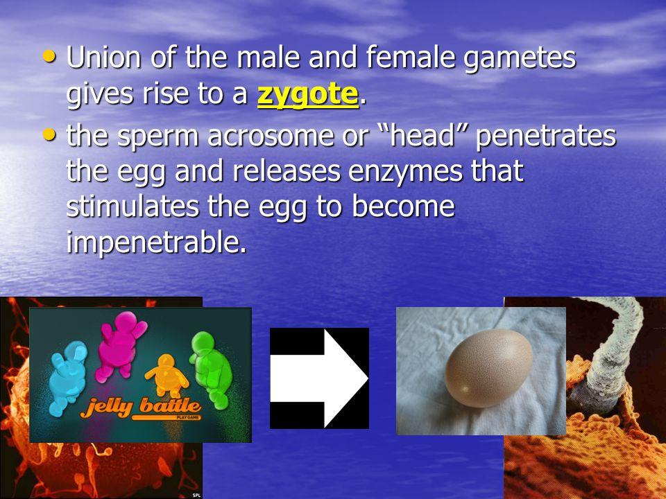 Steps in Fertilization: Contact between sperm and egg Contact between sperm and egg Entry of sperm into the egg Entry of sperm into the egg Fusion of egg and sperm nuclei Fusion of egg and sperm nuclei Activation of development Activation of development