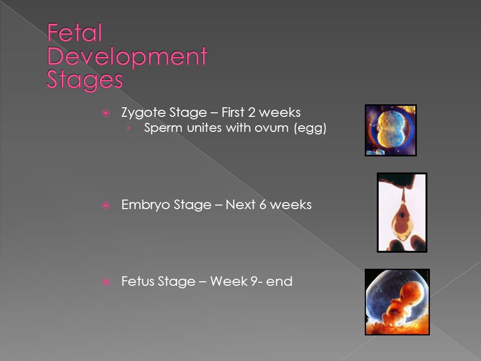  Zygote Stage – First 2 weeks › Sperm unites with ovum (egg)  Embryo Stage – Next 6 weeks  Fetus Stage – Week 9- end