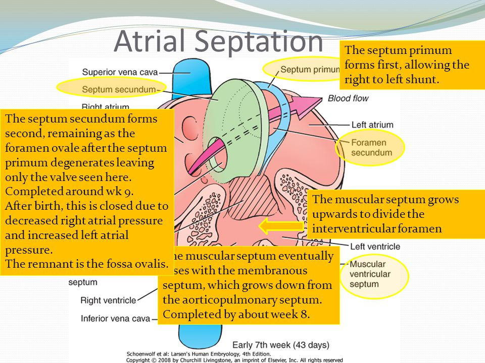 Atrial Septation The muscular septum grows upwards to divide the interventricular foramen The muscular septum eventually fuses with the membranous sep