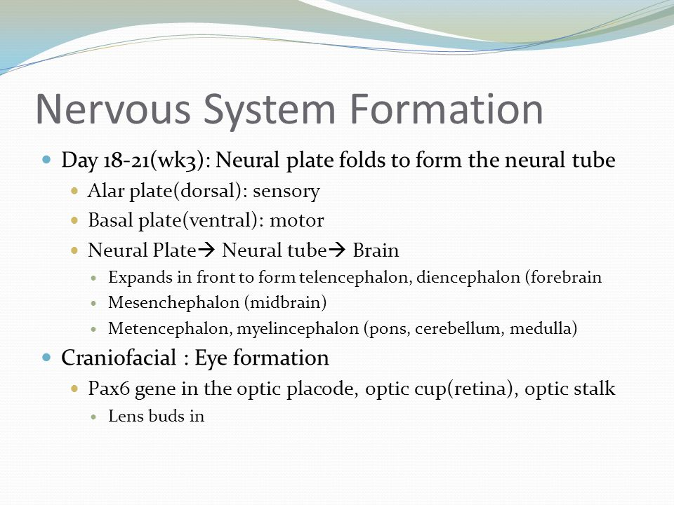 Nervous System Formation Day 18-21(wk3): Neural plate folds to form the neural tube Alar plate(dorsal): sensory Basal plate(ventral): motor Neural Pla